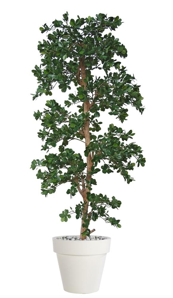 Ficus Panda Multistep